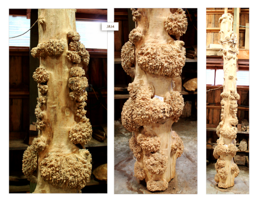 Maple Burl Trunk 2