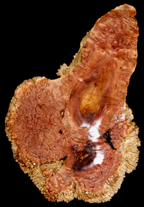 Maple Wood Burl Natural Edge Slab MA2040I