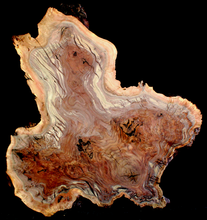 Claro Walnut Burl Wood Slab Kiln Dried WA1046K