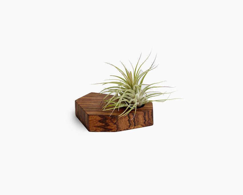 Wooden Airplant Holder Zebrawood