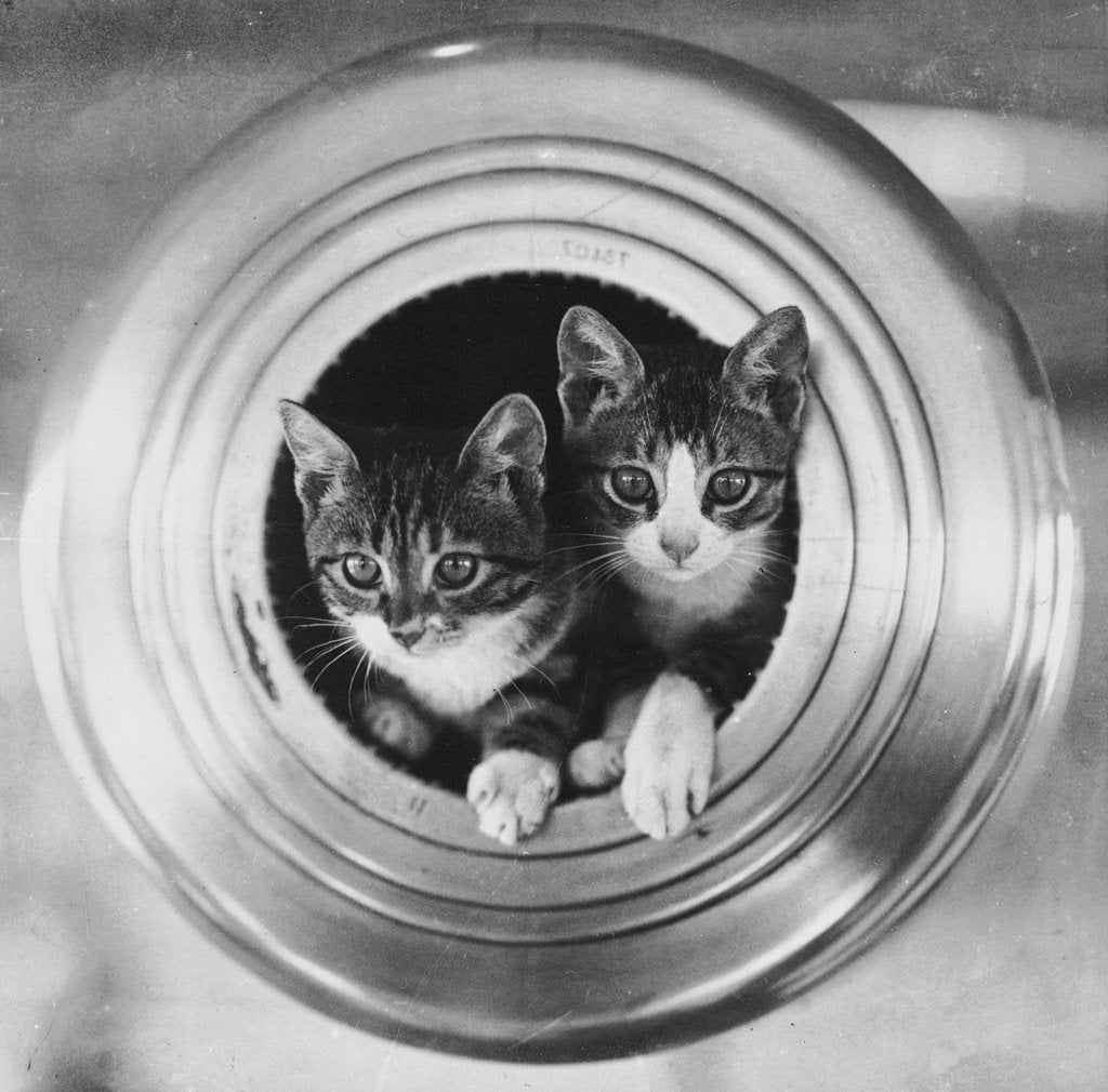Detail of Cats on board the cruiser HMS 'Hawkins' by unknown