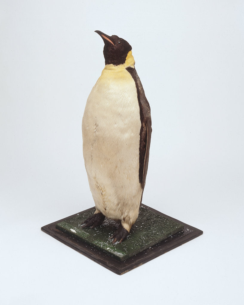 Detail of Stuffed emperor penguin by Dr. Edward Wilson