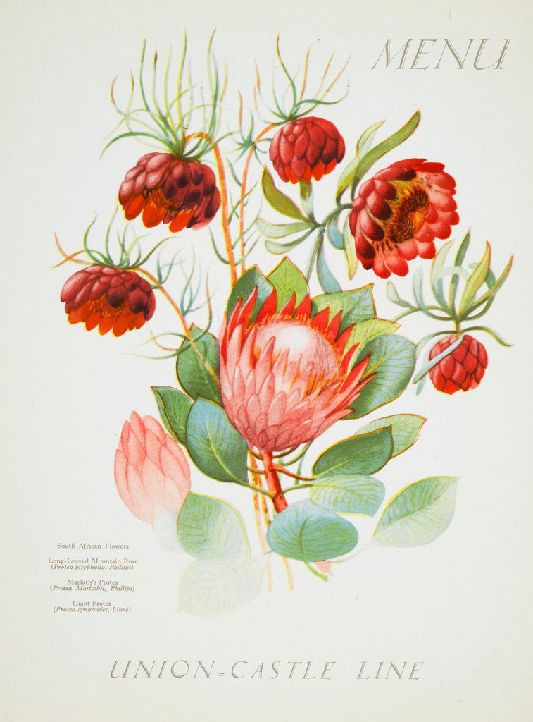 Detail of Front cover of Union Castle Line menu from Stirling Castle, depicting South African flowers by unknown