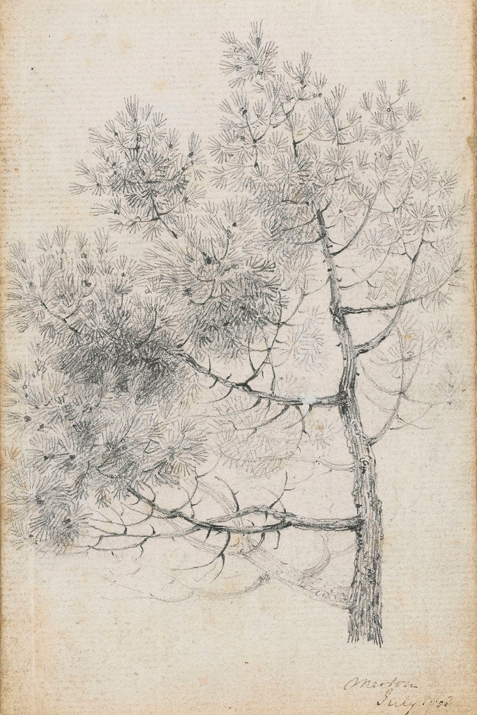 Detail of Study of a pine tree at Merton (recto) by Thomas Baxter