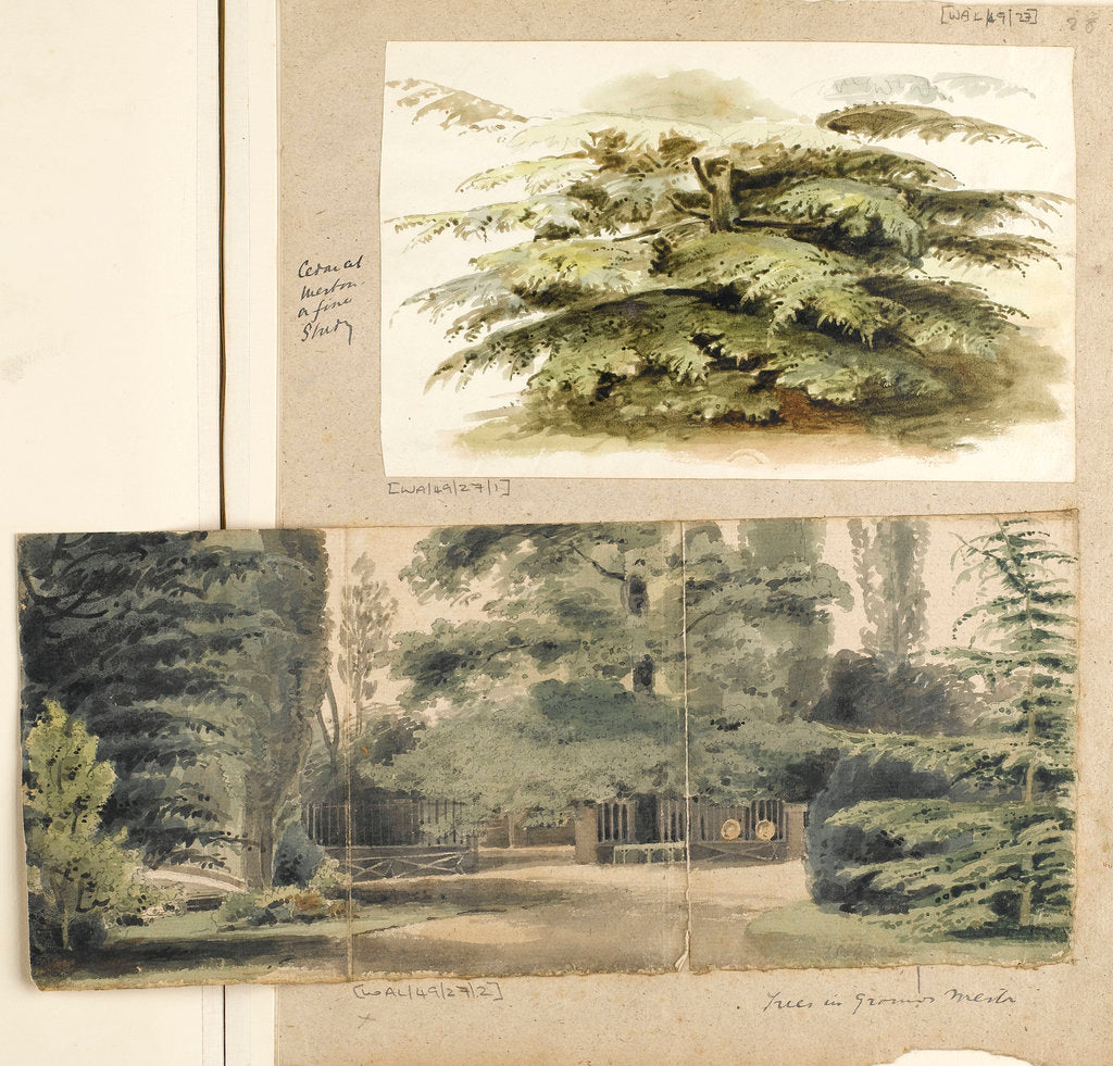 Detail of A study of a Cedar tree at Merton by Thomas Baxter