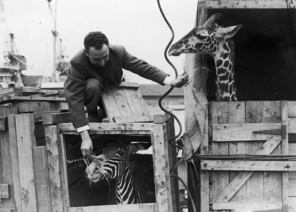 Detail of A zebra and giraffe at the Royal Albert Dock. by unknown