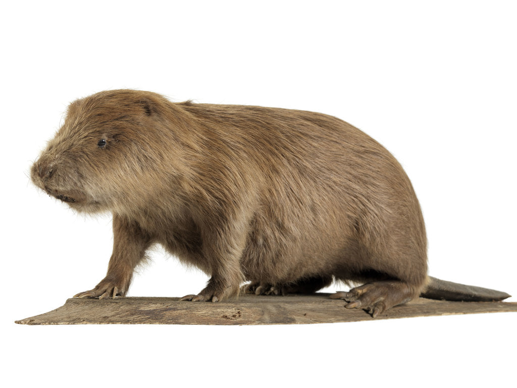 Detail of Stuffed beaver by Starbeck Taxidermy