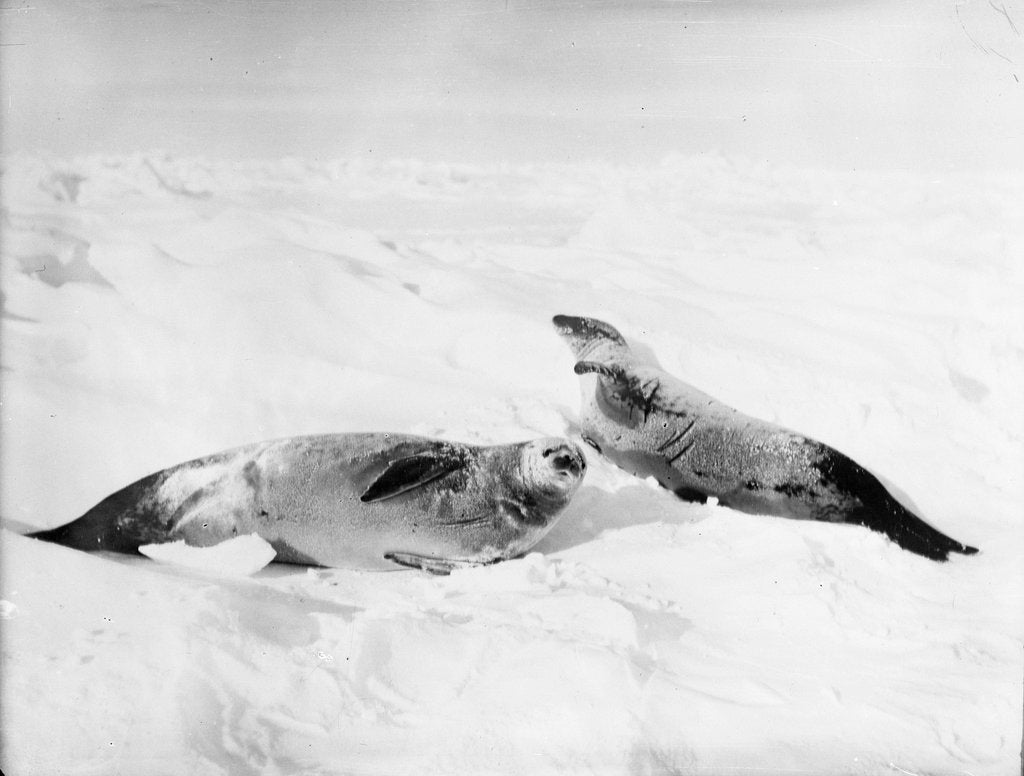 Detail of Two crab-eater seals on the ice, Weddell Sea, Antarctic by unknown