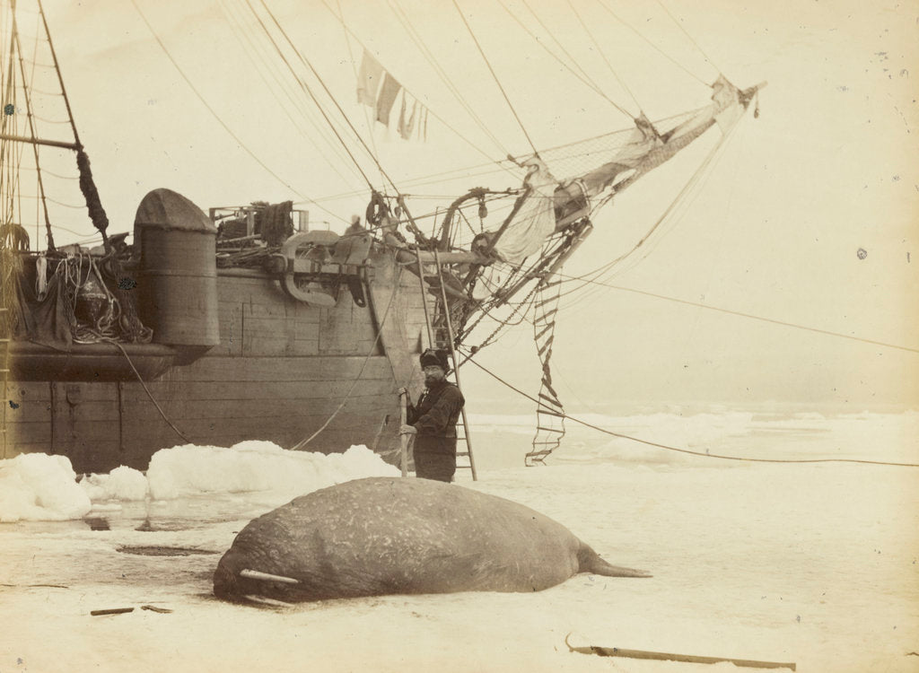 Detail of Walrus killed in Franklin Pierce Bay, 10 August 1875 by George White