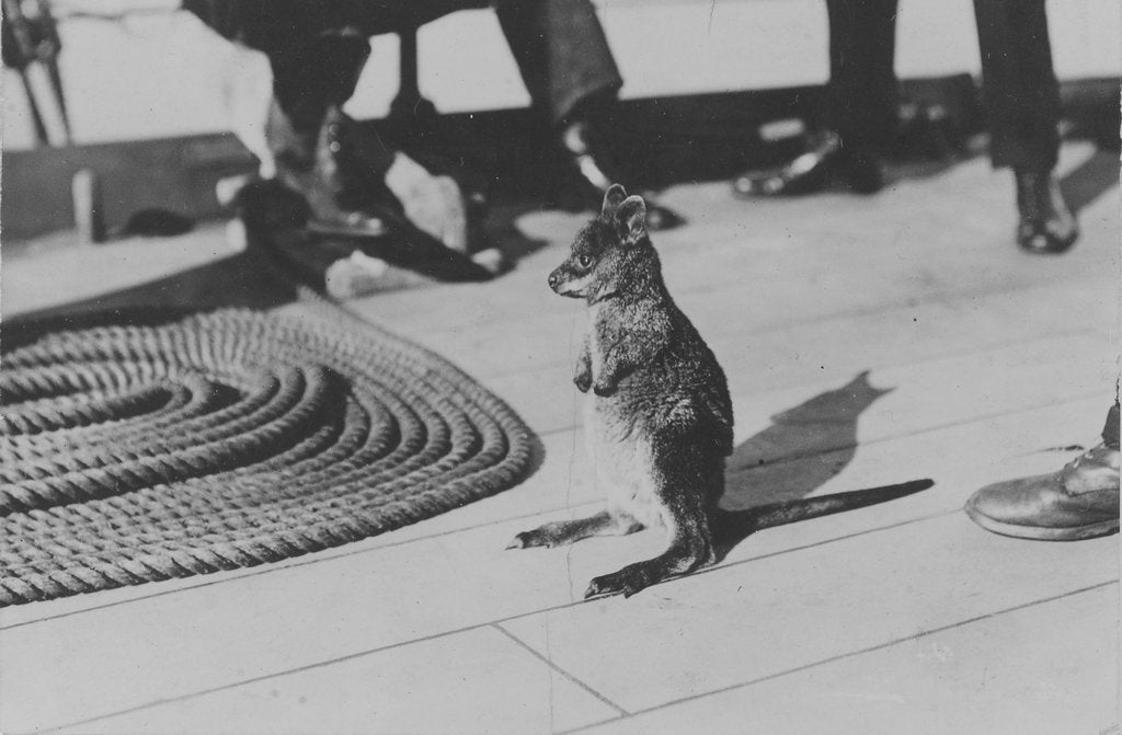 Detail of Wallaby on HMS 'Renown' (1916) during her 1920 tour of Australia and New Zealand by unknown