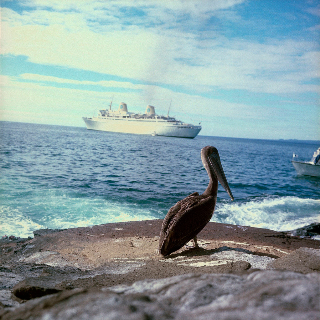 Detail of A pelican on the Galapagos Islands, with 'Kungsholm' (1966) in the background by Marine Photo Service