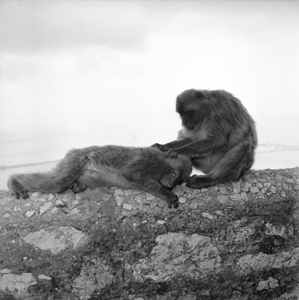 Detail of Barbary macaques on Gibraltar by Marine Photo Service