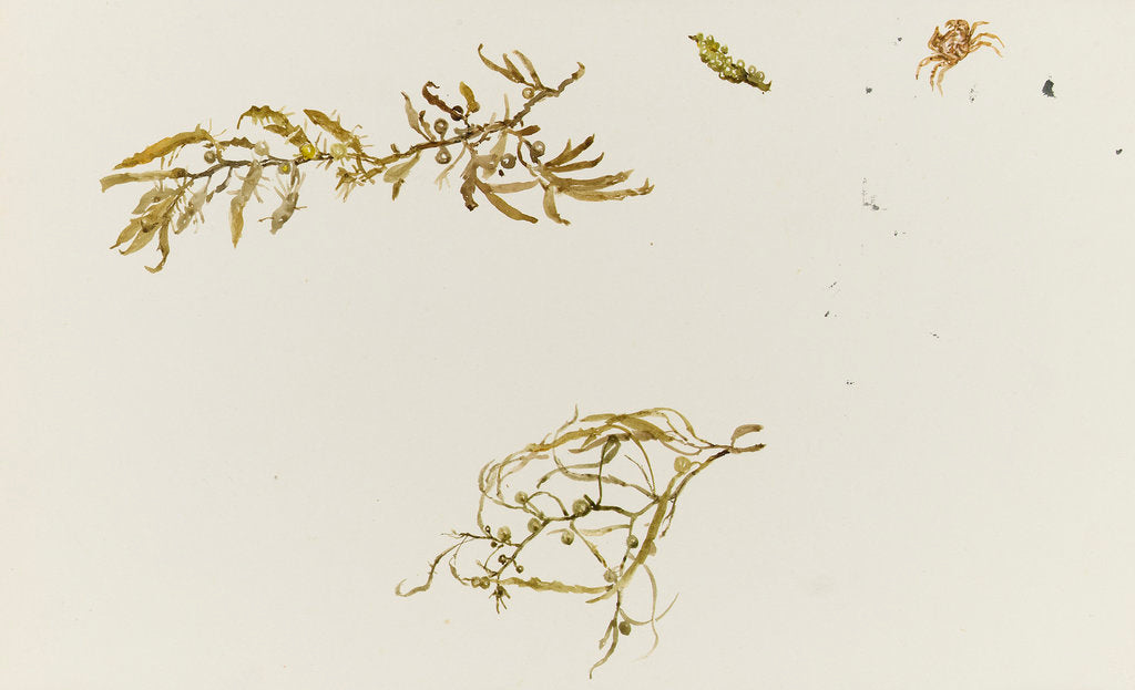 Detail of Seaweed and a crab by William Lionel Wyllie