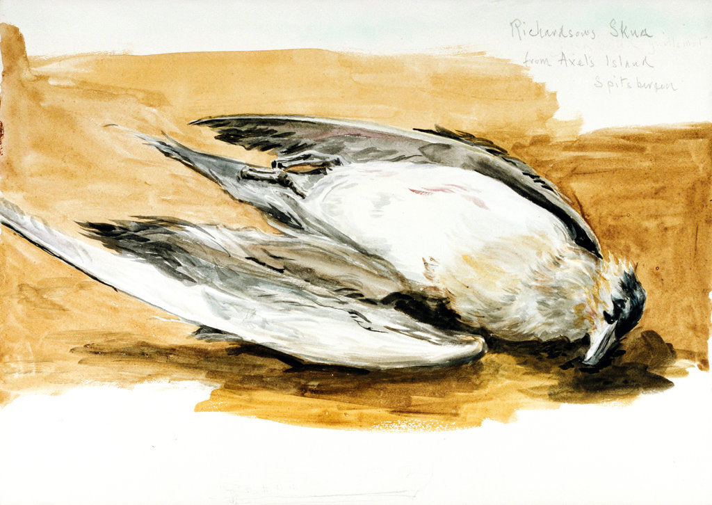 Detail of Richardson's skua from Axel's Island, Spitsbergen by William Lionel Wyllie