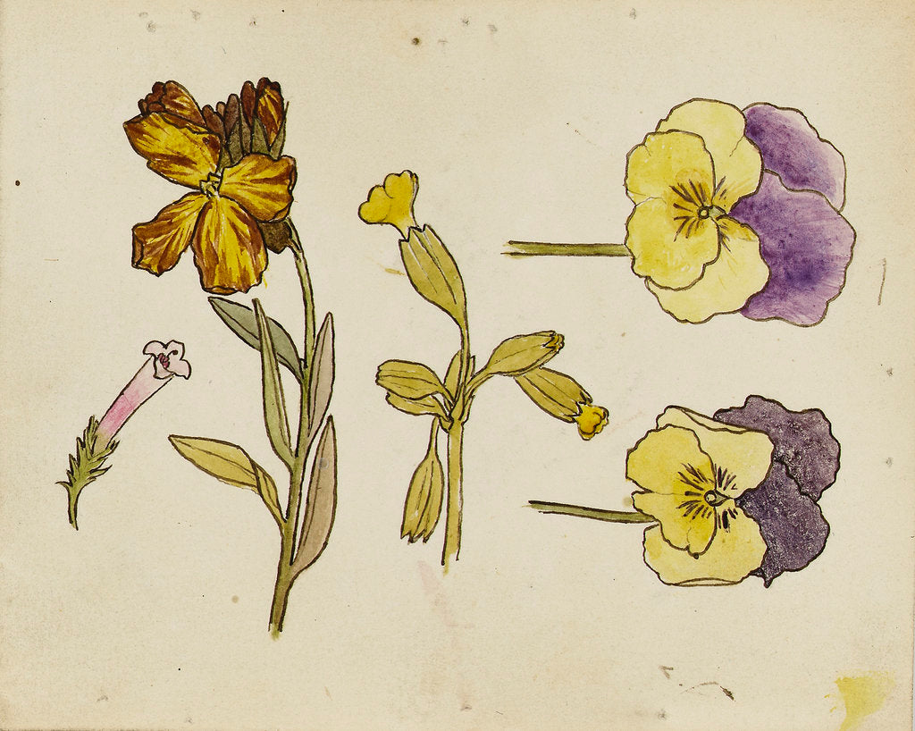 Detail of Study of flowers - pansy, wallflower by Rosa Brett