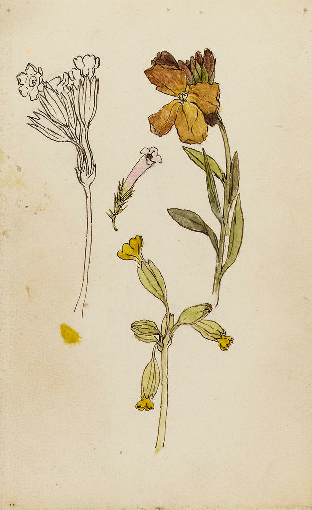 Detail of Study of flowers - wallflower and cowslip by Rosa Brett