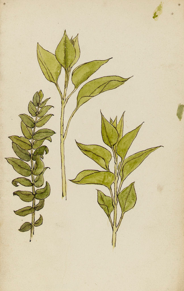 Detail of Study of leaves by Rosa Brett
