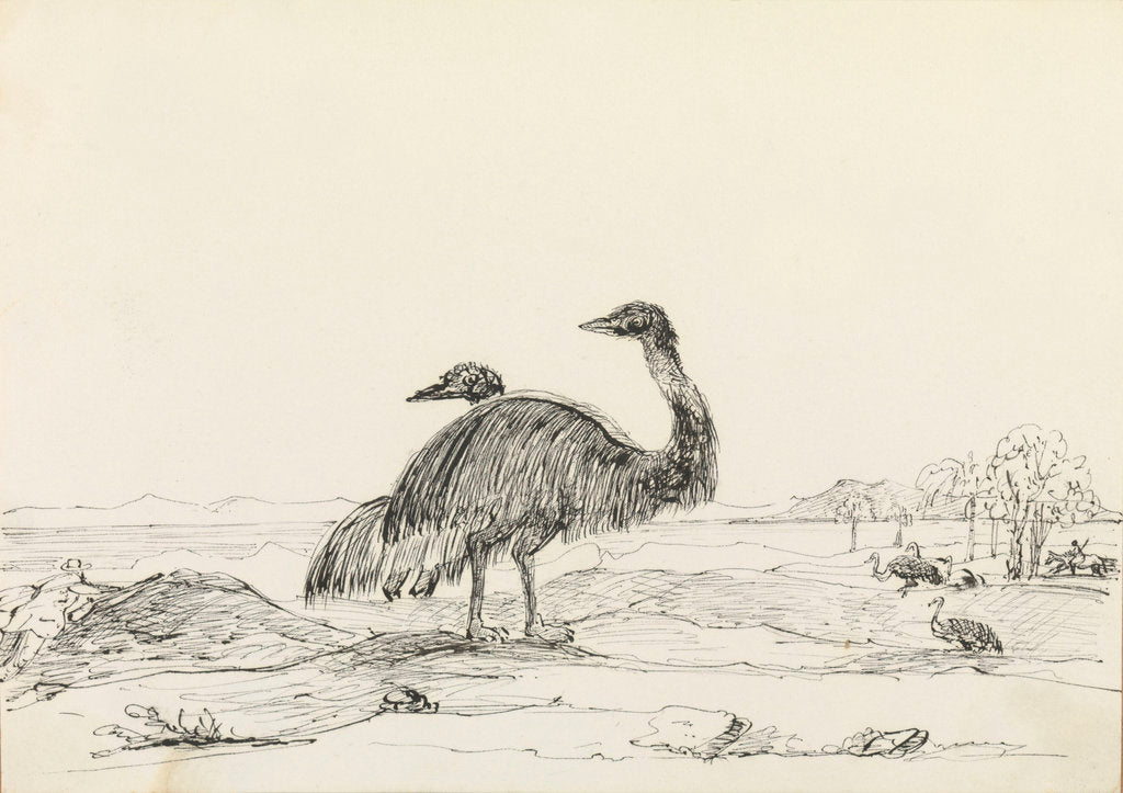 Detail of Sketch of emus by Harry Edmund Edgell