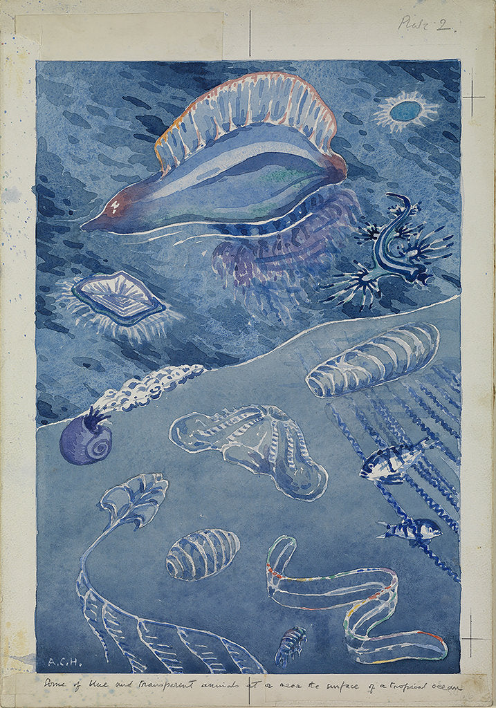Detail of Some of blue and transparent animals at or near the surface of a tropical ocean by Sir Alister Hardy