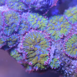 Golden Dragon Mushroom - The Aquaporium,   - Coral,