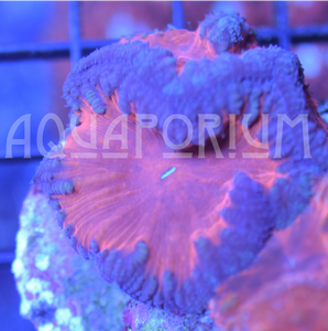 Deadpool Blasto - The Aquaporium,   - Coral,