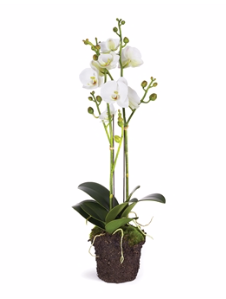 Phalaenopsis x 2 Drop In- 23""
