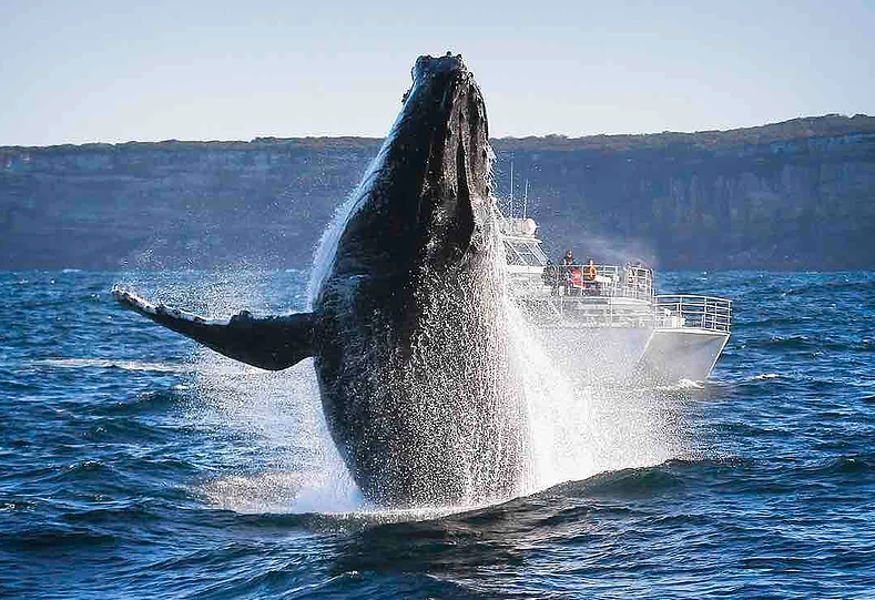 Whale Watching - Oh, how I love living in Australia!
