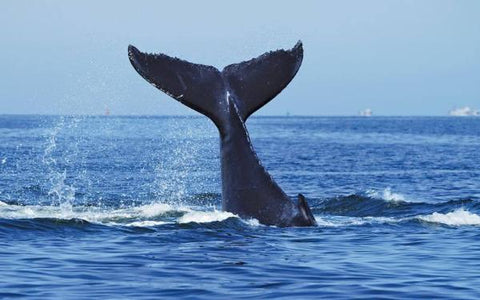 Brekkie, BBQ Lunch or Luxury Cruise with Whales with Oz Whale Watching - BBQ Lunch Cruise