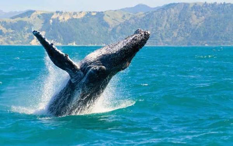 Brekkie, BBQ Lunch or Luxury Cruise with Whales with Oz Whale Watching