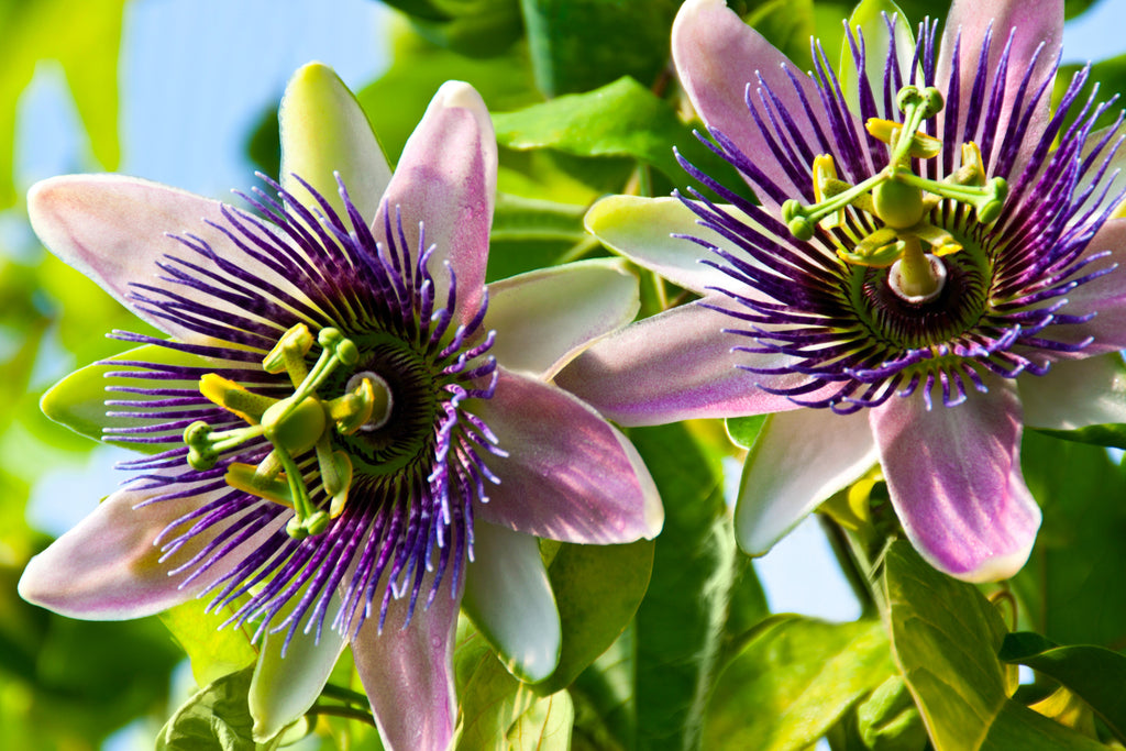 The Many Benefits Of Passion Flower Aceva