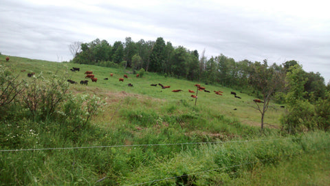 Cows rotating on pasture