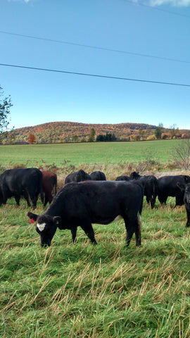 Grazing Yearling Heifer