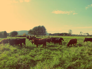 Beef cattle grazing on grass in a field