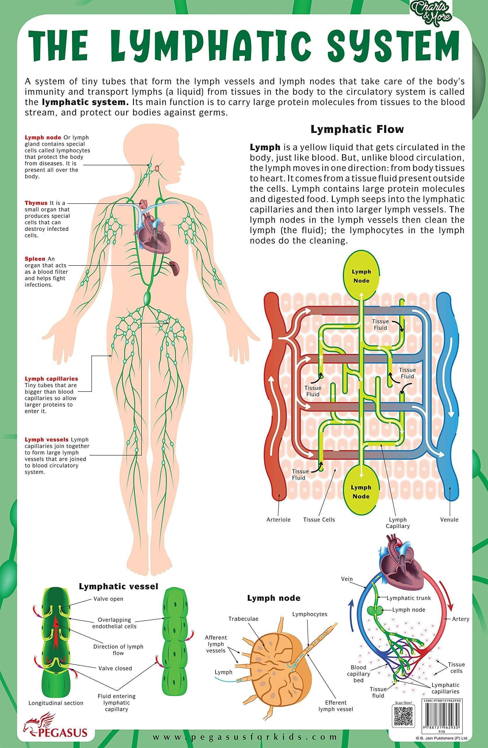 The Lymphatic System - Thick Laminated Chart