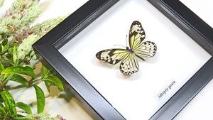Black and white Nymphalid butterfly