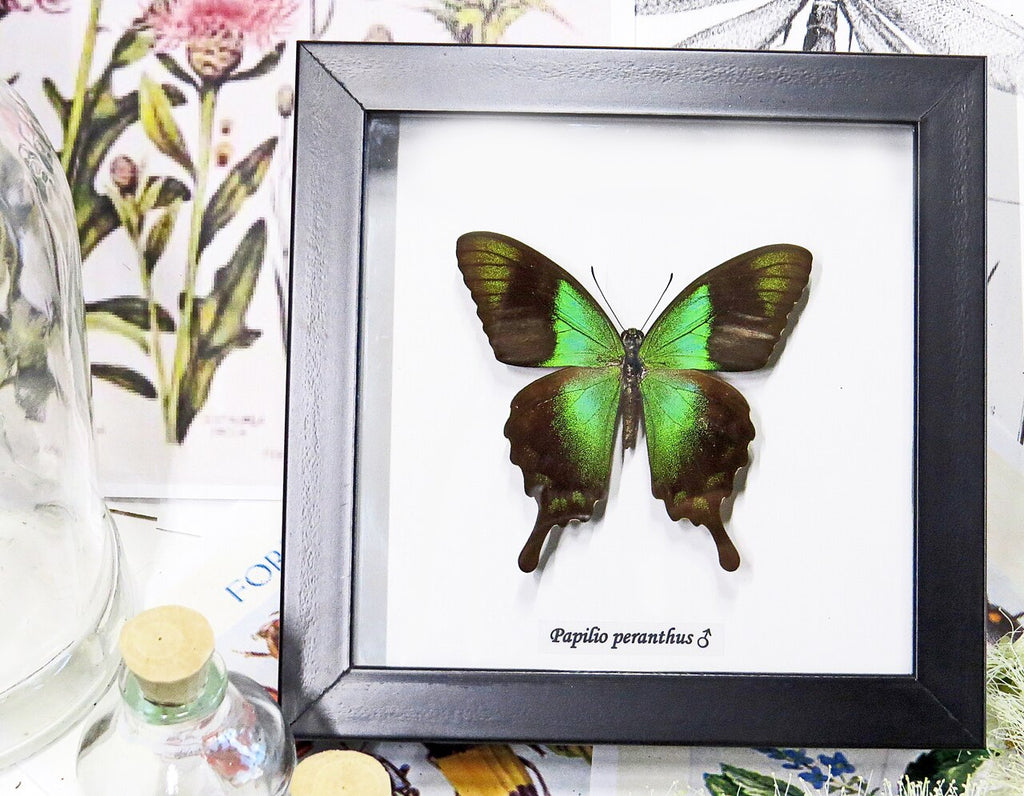 Real Green Butterfly Gift Frame- Papilio palinurus