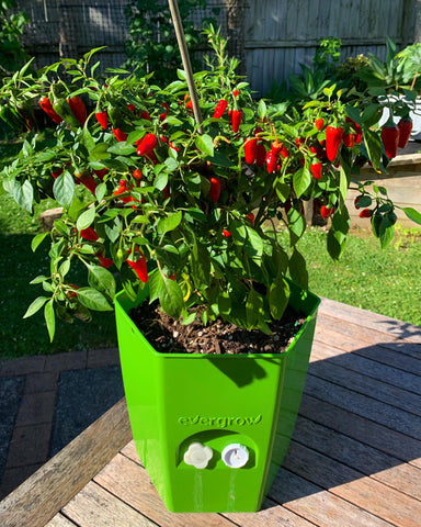 Chillies growing in self-watering planter pot