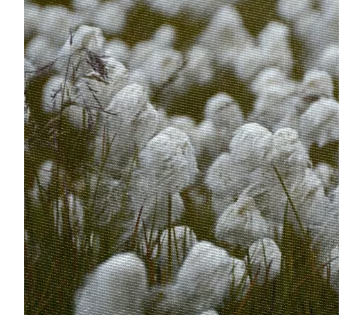 Close up of wild cotton in the field - ARTPICS