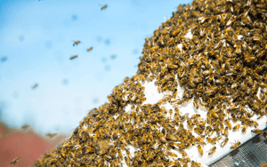Why Do Bees Beard?