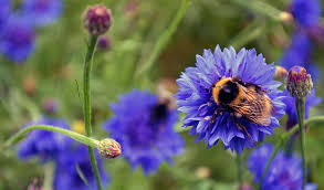 Bumble bee, blue bumble bee, bumble bee blue, blue flower