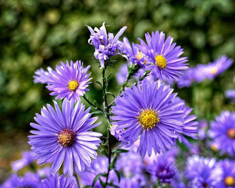 aster, asters, aster flower, bee friendly flower, polinator friendly flower