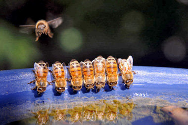 bees drinking, bees drinking water, bee bowl, water, water break