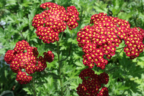 common yarrow, bee friendly flower, polinator friendly flower