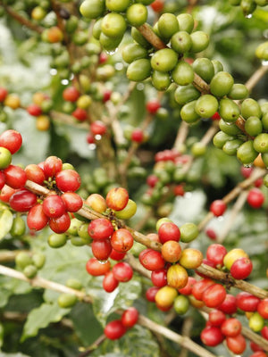 Coffee beans growing in Colombia. La Sierra Craft Coffee Roasters works with select farmers who handpick the coffee. Later the coffee is craft roasted to perfection. All La Sierra coffees are single origin coffees from Colombia.