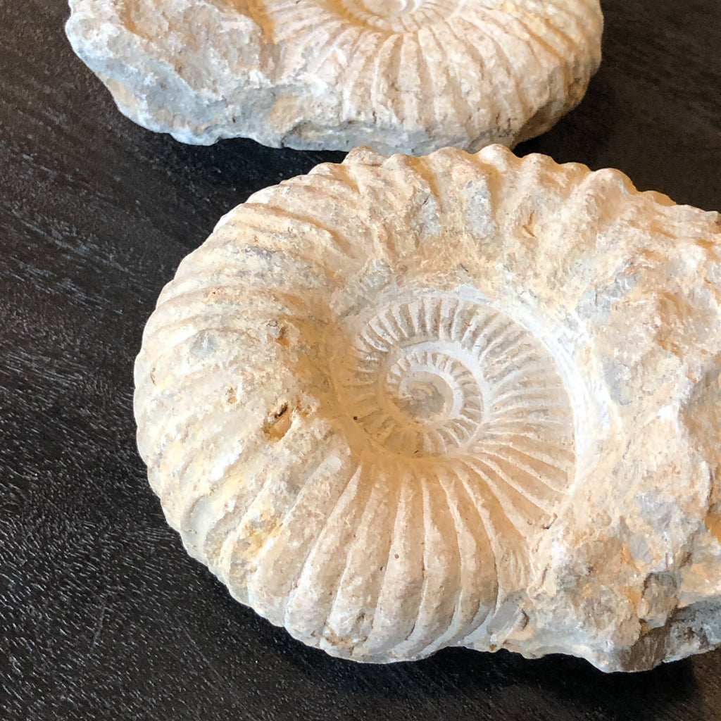Ammonite Fossil_Royal Circus