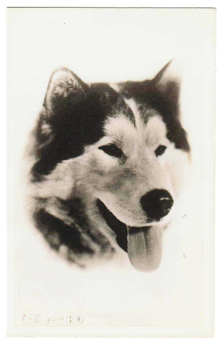 ANIMALS. RPPC. DOG: ALASKA HUSKY. POSTCARD.