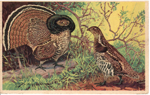 RUFFED GROUSE (BONASE UMBELLAS) AMERICAN WILDLIFE U.S. POSTCARD