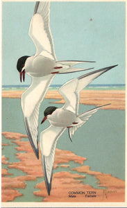 COMMON TERN (STERNA BIRUNDO) MALE AND FEMALE WILDLIFE
