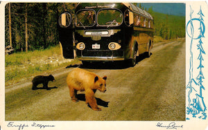 SCENIC TOUR BUS STOPS BEAR 1940'D-50'D CHROME POSTCARD