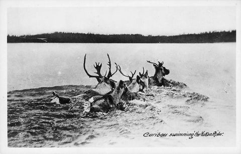 Caribou Swim In The Yukon River. Gowen Sutton. Canada Postcard